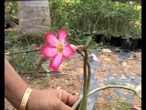 Desert Rose Adenium obesum  Master Gardener Program