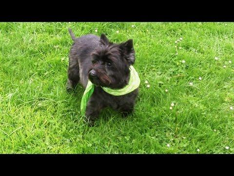 Cairn Terrier Fabulistic Fergus mooching with Peppa.