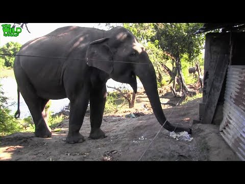 Elephant gets to taste Rice and vegetables for a change. Shocks a cat!