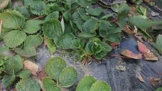 Proljetno čišćenje jagoda