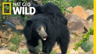 Hitching a Ride with Mama Bear | Secret Life of Tigers