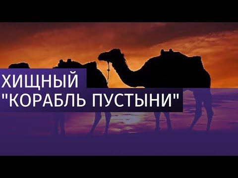 Верблюд откусил мужчине руку