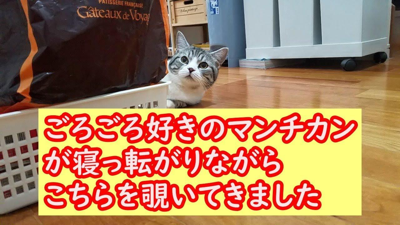 寝っ転がりながら覗いてくる猫(マンチカン) - A cat (munchkin) peeking while lying on the floor -