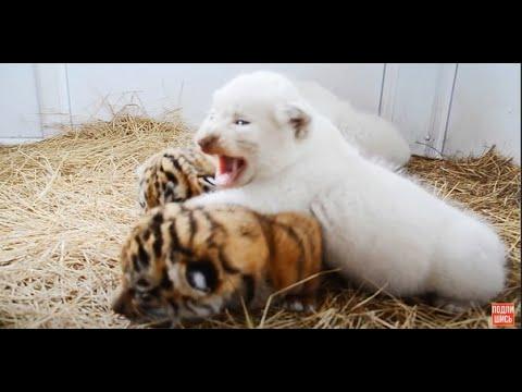 Милота !!! Белые львята и тигрята !