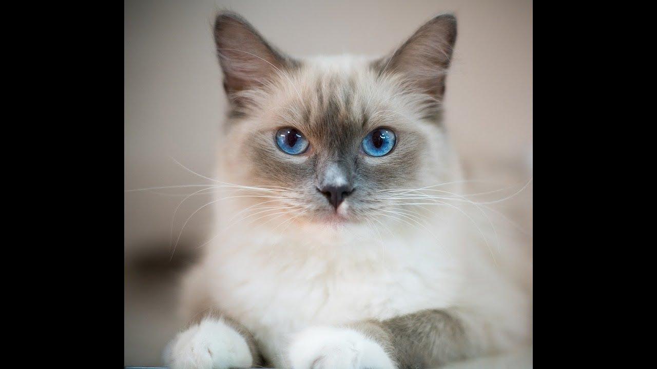 macska megnyalja a péniszét