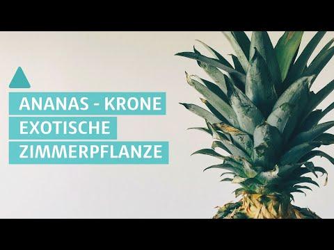 Ananas: DIY - So wird aus Superfood eine Zimmerpflanze