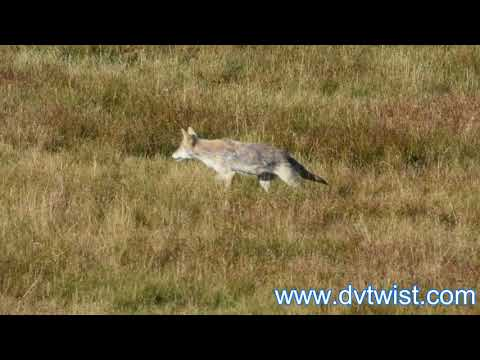 """I'm Actually Canis Latrans"" [Coyote in Yellowstone National Park, Wyoming]"
