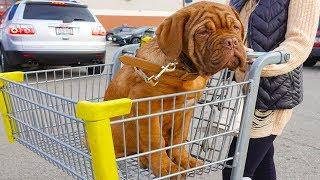 КУПИЛ ЩЕНКА БОРДОСКОГО ДОГА  | FRENCH MASTIFF | dog de bordeaux