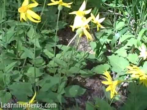 Arnica herb, Arnica montana