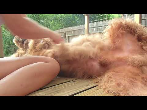 How to Groom a Goldendoodle Puppy Yourself | Best Dog Grooming Tips