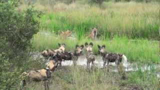 African Safari: Hyenas vs Wild Dogs