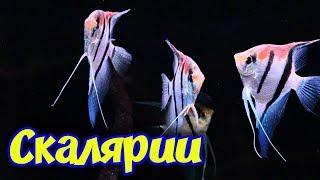 Скалярии! Содержание, размножение, кормление, уход и совместимость аквариумных рыбок Скалярий!