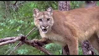 Thế giới hoang dã | Dê Núi vùng bắc Mỹ | Những động vật lạ