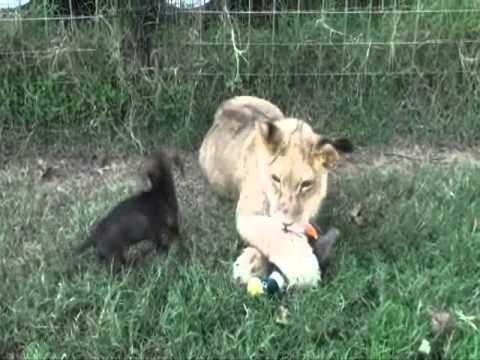 Lion Vs Wiener Dog