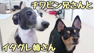 犬のひみつきちホームページ http://www.dogs-base.com/ イタリアングレ...