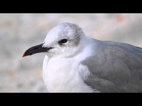Shorebirds of the Gulf Coast