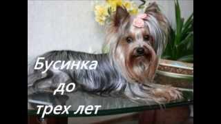 Йоркширский терьер от 2,5 месяцев до взрослой собачки