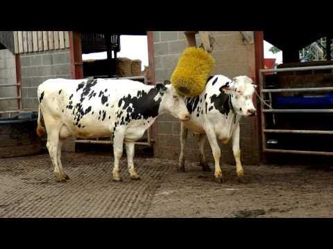 Friesian Dairy Cows