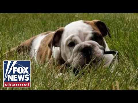 Meet the Marine Corps' new mascot: Recruit Chesty XV