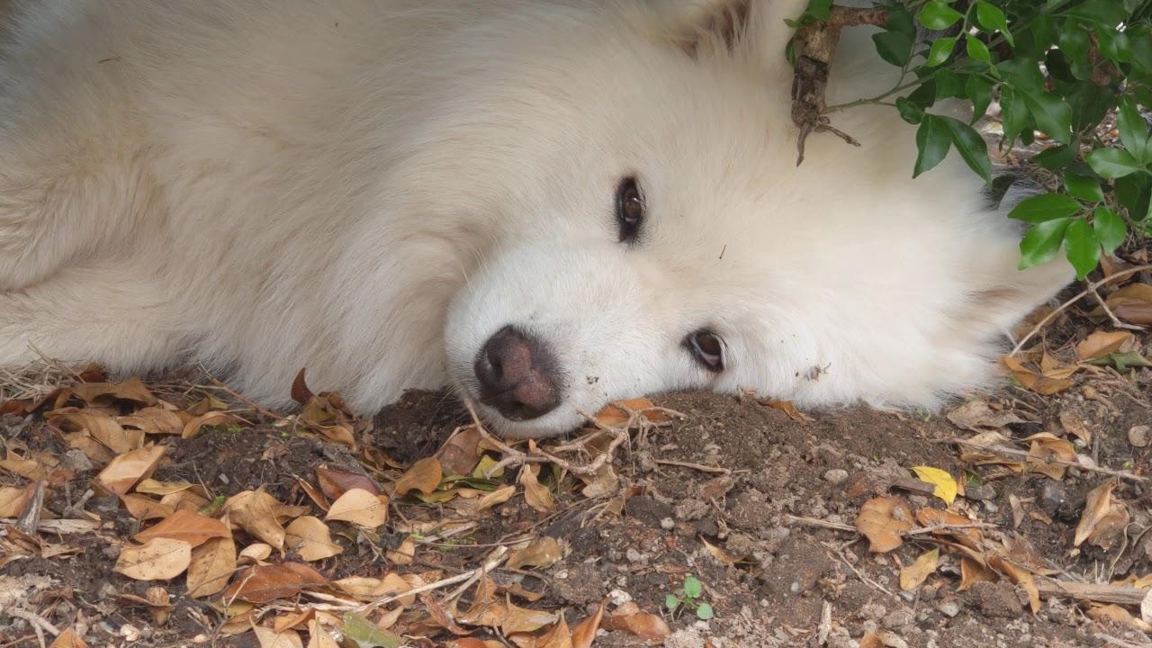 Dog Too Tired To Play (Simba & Bear)