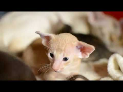 Cream boy  oriental shorthair  3weeks old