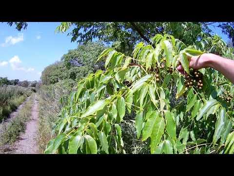 Бархат амурский плоды (ягоды), применение, лечение.