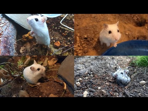 If hamsters live in nature 1~40days (no cut) 야생 햄스터 무편집
