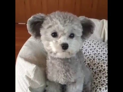 Small Dog Breeds That Look Like Teddy Bears