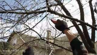 Обрезка вишни(Как правильно обрезать вишню? Ответ - в нашем видео! Заходите на сайт http://www.trees.sadby.org и получайте еще 20 уроков..., 2012-08-25T03:18:09.000Z)