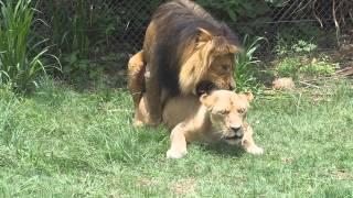 Lion mating on safari