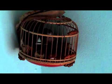 chim cu gay ( giọng đồng) của phuong_kofk