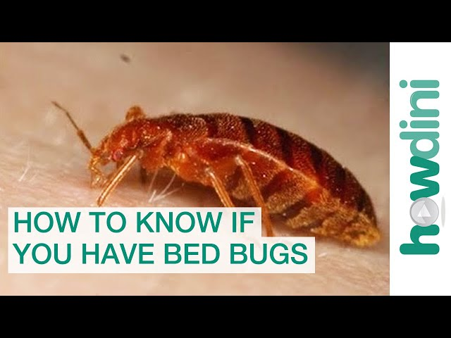 do bed bugs fly What are be