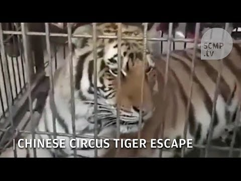 Tiger escapes from cage during circus show in China