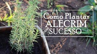 ALECRIM: COMO PLANTAR COM SUCESSO – SUPER FÁCIL – PASSO A PASSO