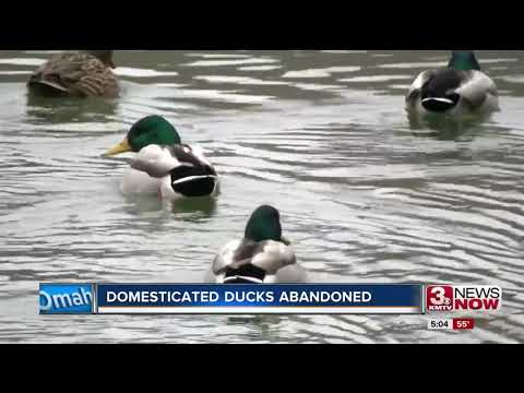 Humane Society captures abandoned domestic ducks