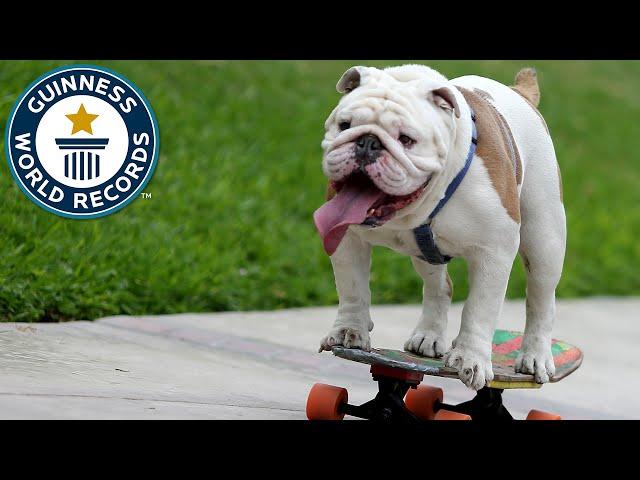 Skateboarding bulldog breaks Guinness World Record - BBC News