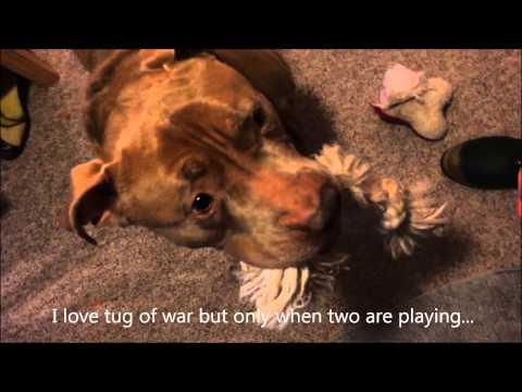 Bruno - Seattle Animal Shelter adoptable dog