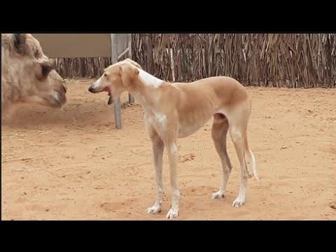Arabian Hunting Dog Saluki with Camel in Heritage site in Dubai كلب الصيد العربي السلوكي مع الجمل