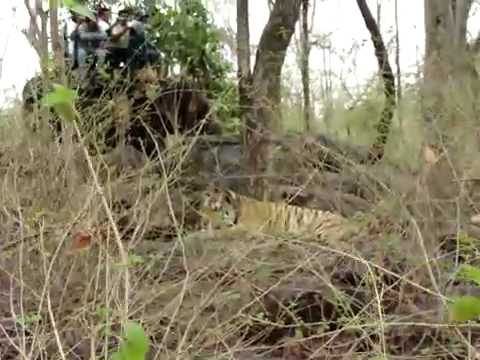 Sighting Tiger at Pench tiger reserve with Great Hyderabad Adventure Club www.ghac.in