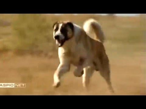 Tobet Dog Kazakhstan | Тобет - казахский волкодав