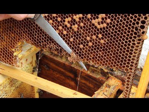 Как вывести пчелиную матку видео помощь начинающему пчеловоду