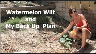 Watermelon Wilt And My Back Up Plan