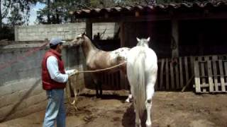 Repeat youtube video GARAÑON APPALOOSA