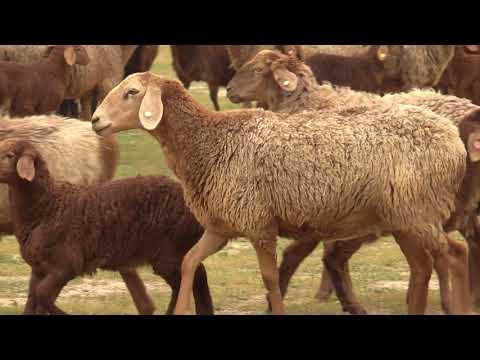 видео: Гиссарские овцы  хозяйства Баракат на зимних стоянках весной