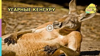 Приколы с животными. Угарные моменты с кенгуру. Fun with animals. Carbon moments with kangaroo.