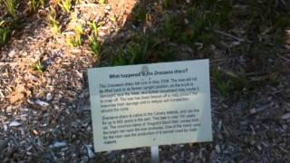 Dracaena Draco tree at Sydney Botanic Gardens