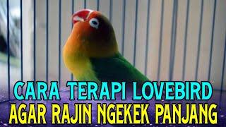Download Cara Terapi Lovebird Agar Ngekek Panjang