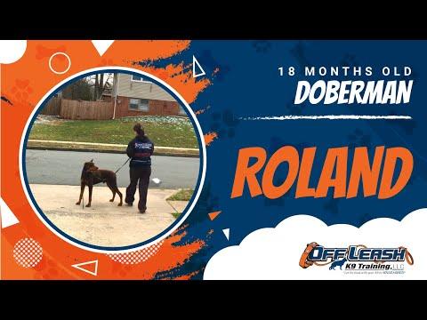18-month-old-doberman,-roland!-best-doberman-dog-trainers-|-doberman-dog-training-|-off-leash-k9