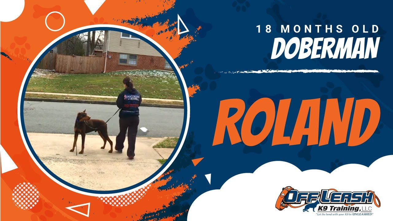 18-Month Old Doberman, Roland! Best Doberman Dog Trainers | Doberman Dog  Training | Off Leash K9