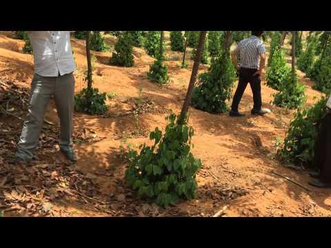 Kỹ thuật trồng và chăm sóc hồ tiêu trên trụ sống